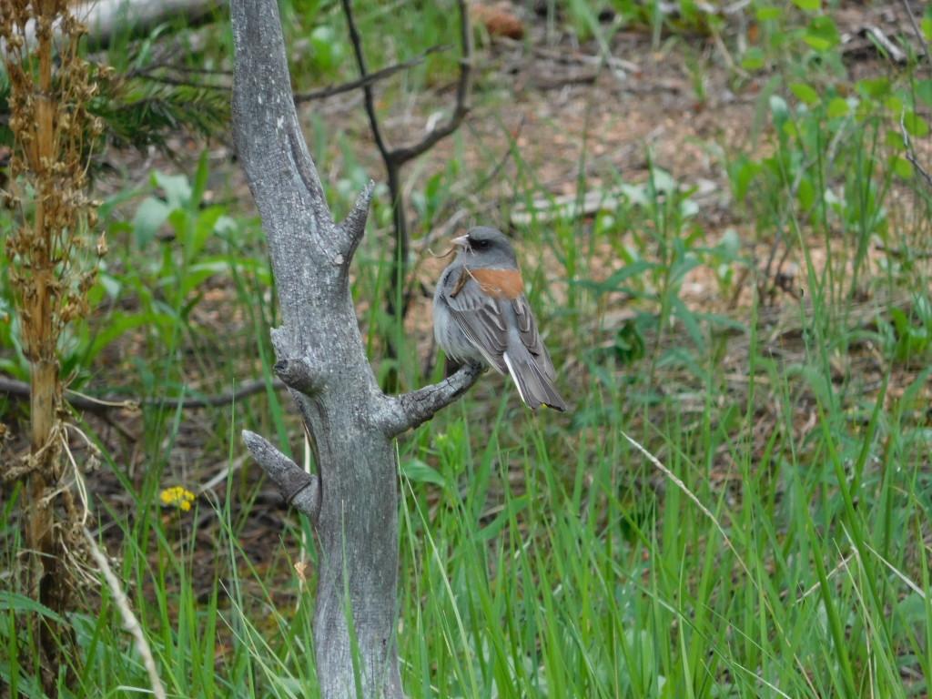 Bird carrying grass