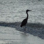 Heron standing in the water waiting for fish to approach.