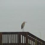 Heron looking miserable in the rain.