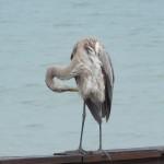 Heron preening itself after the rainstorm.